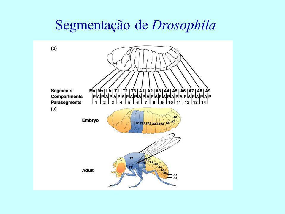 Segmentação de Drosophila