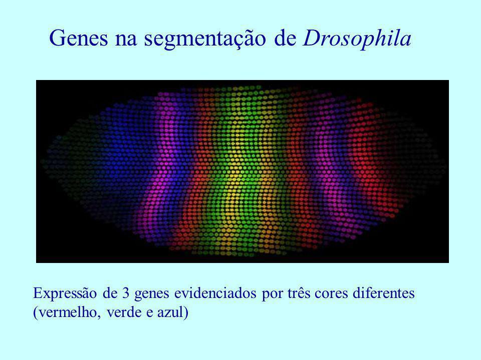Expressão de 3 genes evidenciados por três cores diferentes (vermelho, verde e azul) Genes na segmentação de Drosophila