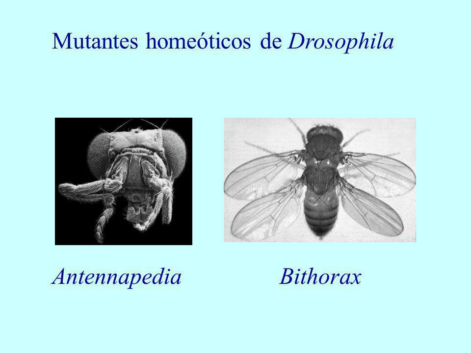 Mutantes homeóticos de Drosophila AntennapediaBithorax