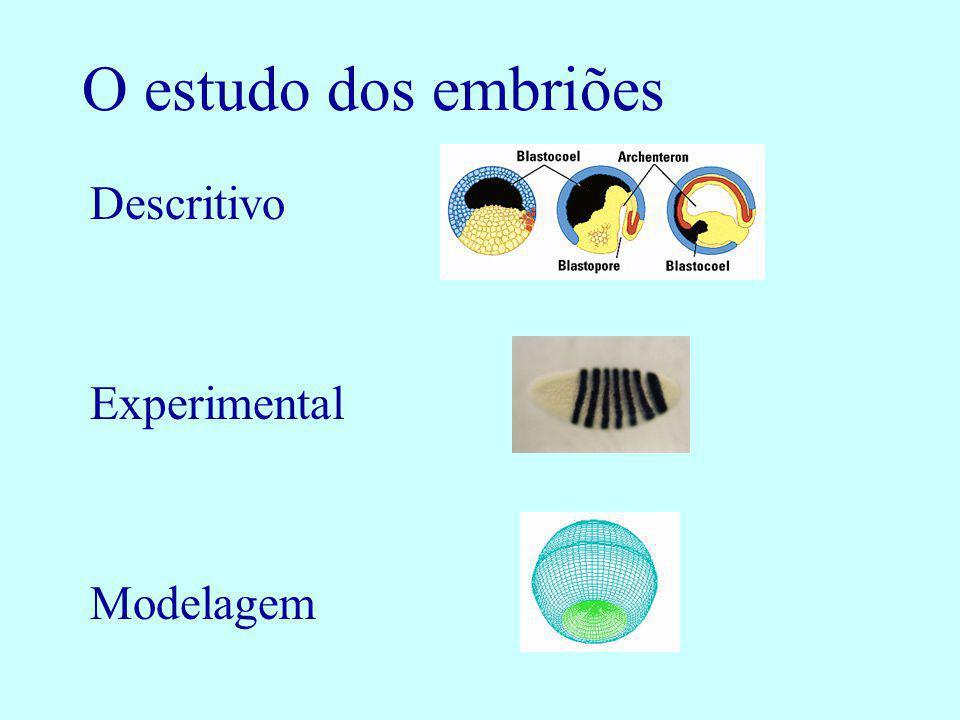 O estudo dos embriões Descritivo Experimental Modelagem
