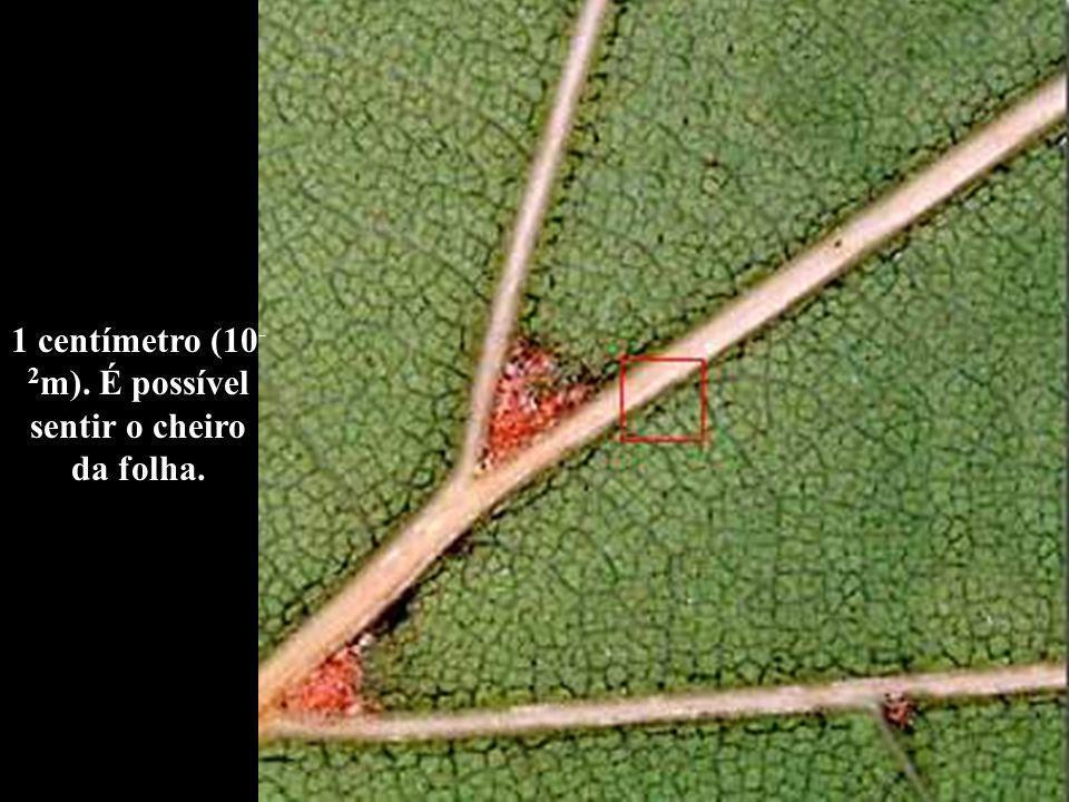 1 centímetro (10 - 2 m). É possível sentir o cheiro da folha.