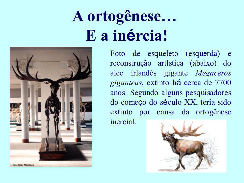 A ortogênese … E a in é rcia! Foto de esqueleto (esquerda) e reconstrução art í stica (abaixo) do alce irlandês gigante Megaceros giganteus, extinto h