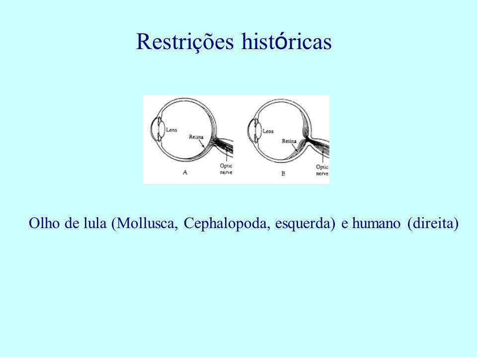 Restrições hist ó ricas Olho de lula (Mollusca, Cephalopoda, esquerda) e humano (direita)