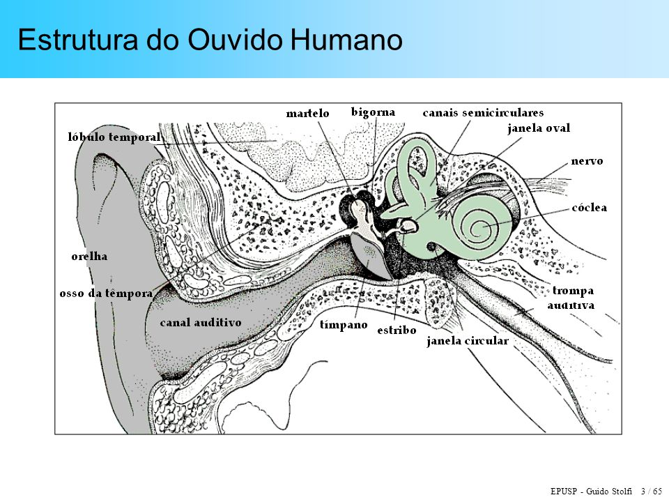 EPUSP - Guido Stolfi 3 / 65 Estrutura do Ouvido Humano