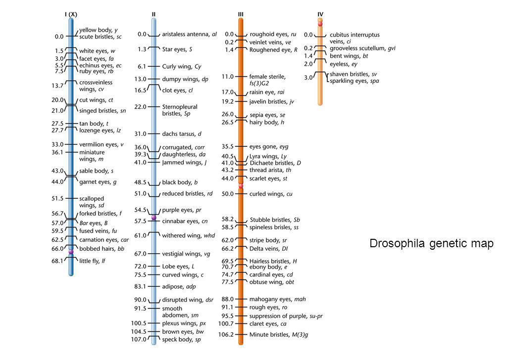 Drosophila genetic map