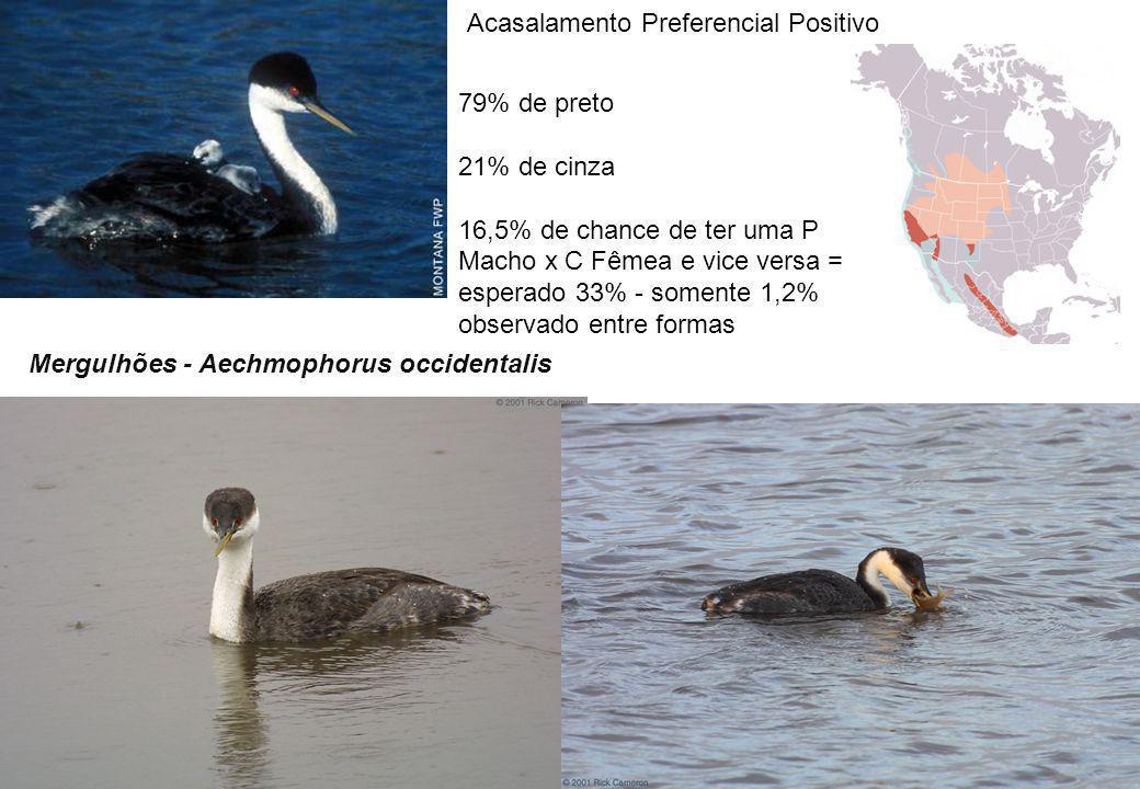 Mergulhões - Aechmophorus occidentalis 79% de preto 21% de cinza 16,5% de chance de ter uma P Macho x C Fêmea e vice versa = esperado 33% - somente 1,2% observado entre formas Acasalamento Preferencial Positivo