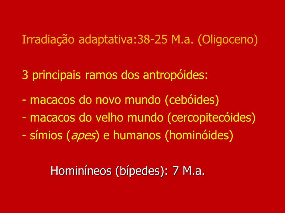 Hominíneos (bípedes): 7 M.a. Irradiação adaptativa:38-25 M.a. (Oligoceno) 3 principais ramos dos antropóides: - macacos do novo mundo (cebóides) - mac
