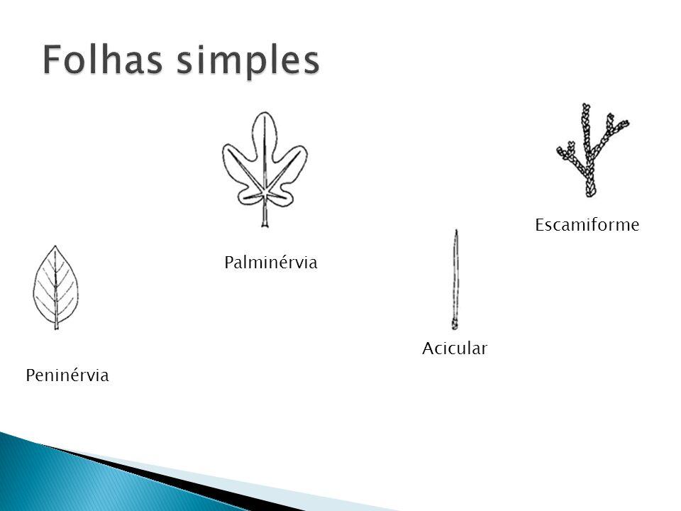 Peninérvia Palminérvia Acicular Escamiforme