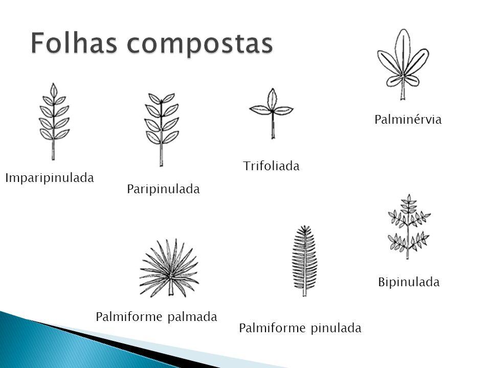 Imparipinulada Paripinulada Trifoliada Palminérvia Palmiforme palmada Palmiforme pinulada Bipinulada