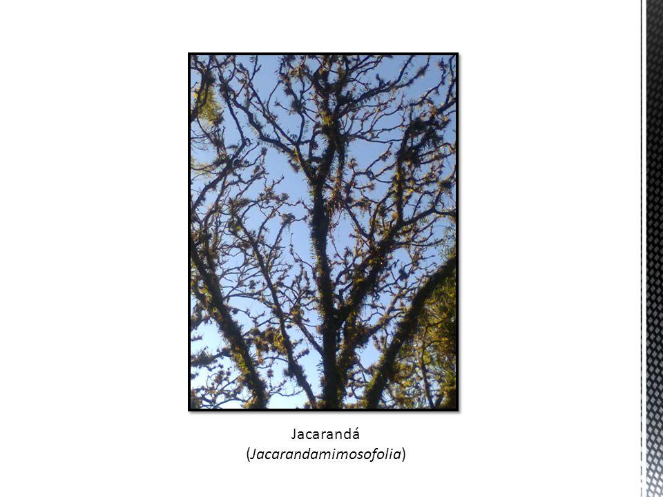 Jacarandá (Jacarandamimosofolia)