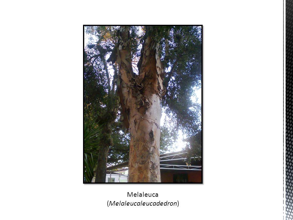 Melaleuca (Melaleucaleucadedron)
