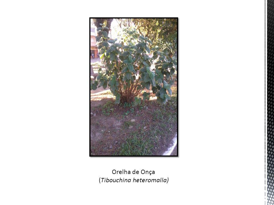 Orelha de Onça (Tibouchina heteromalla)