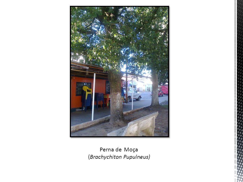 Perna de Moça (Brachychiton Pupulneus)