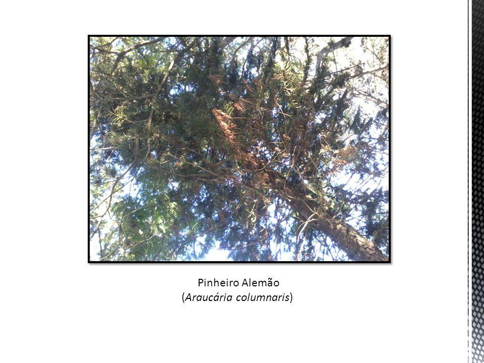 Pinheiro Alemão (Araucária columnaris)