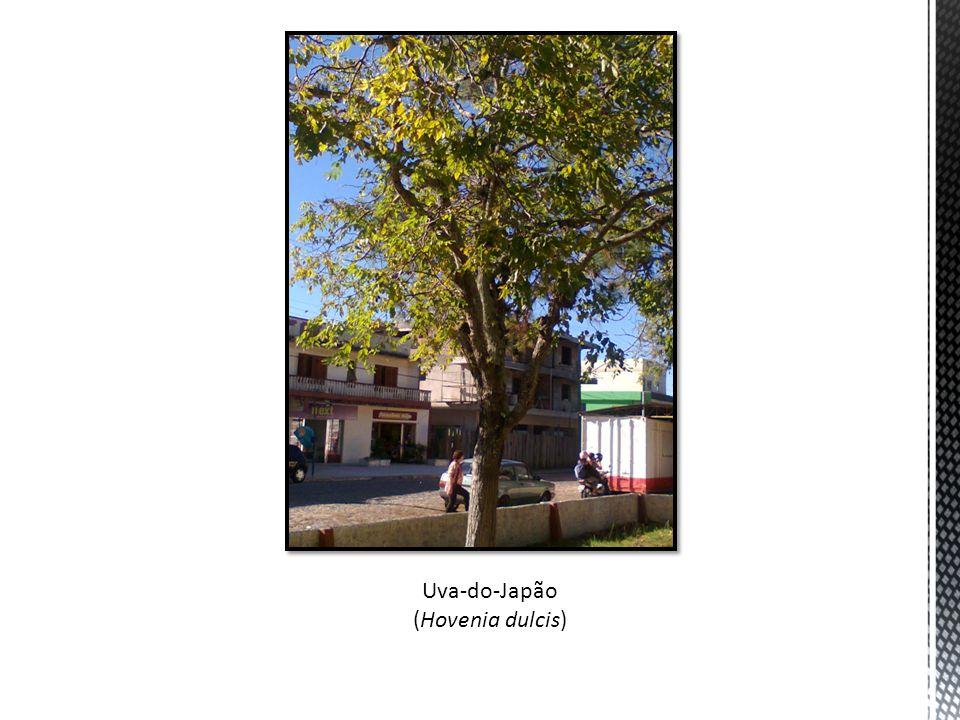Uva-do-Japão (Hovenia dulcis)