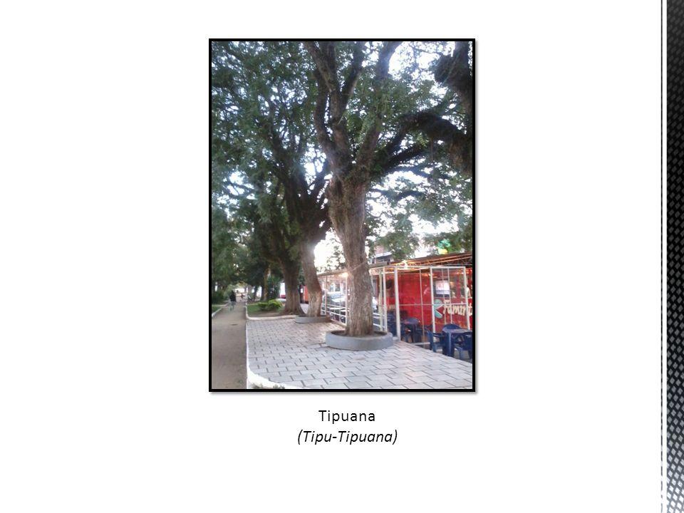 Tipuana (Tipu-Tipuana)