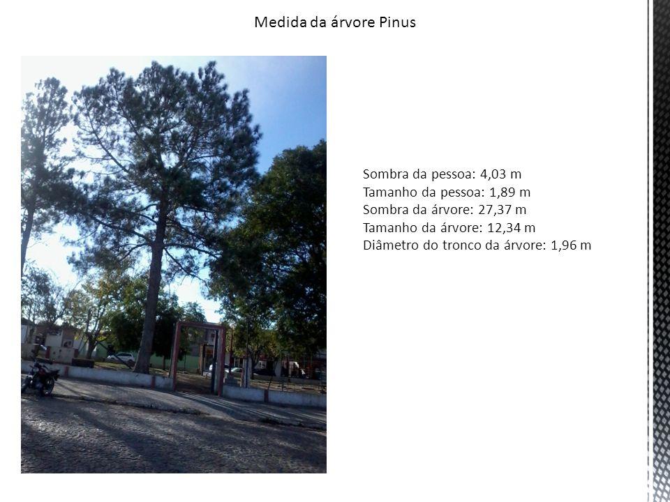 Medida da árvore Pinus Sombra da pessoa: 4,03 m Tamanho da pessoa: 1,89 m Sombra da árvore: 27,37 m Tamanho da árvore: 12,34 m Diâmetro do tronco da árvore: 1,96 m