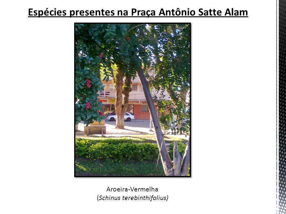 Espécies presentes na Praça Antônio Satte Alam Aroeira-Vermelha (Schinus terebinthifolius)