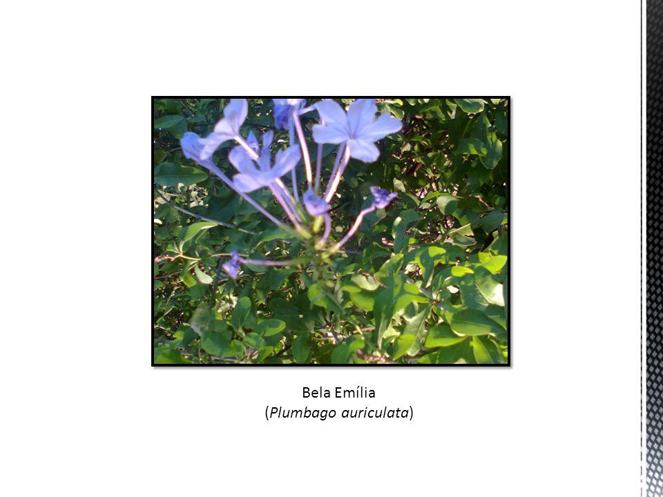 Bela Emília (Plumbago auriculata)