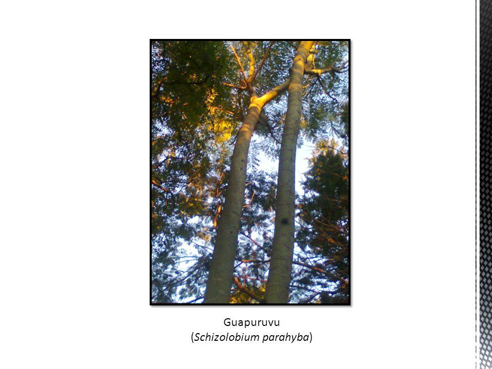 Guapuruvu (Schizolobium parahyba)