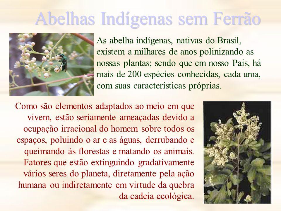 Abelhas Indígenas sem Ferrão As abelha indígenas, nativas do Brasil, existem a milhares de anos polinizando as nossas plantas; sendo que em nosso País, há mais de 200 espécies conhecidas, cada uma, com suas características próprias.