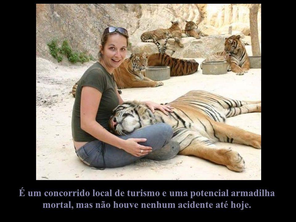 Os monges acham que esses tigres não são nada mais nada menos que ex-budistas reencarnados no mesmo lugar.