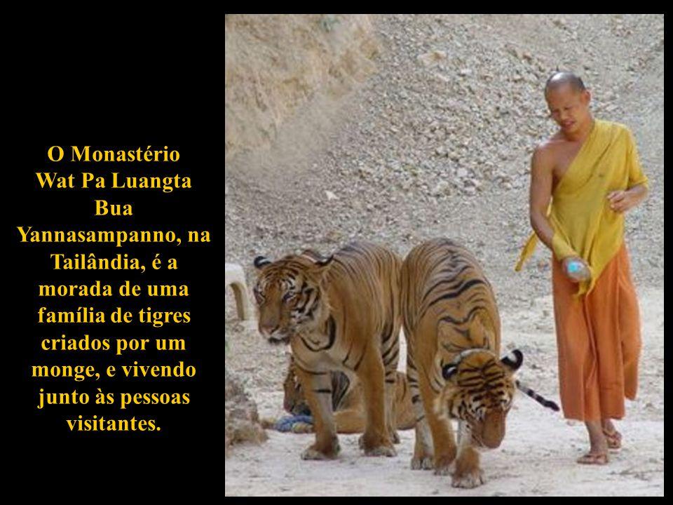 MONASTÉRIO WAT PA LUANGTA BUA YANNASAMPANNO O Templo do Tigre na Tailândia é um lugar onde foi formado um extraordinário vínculo entre o homem e o mun