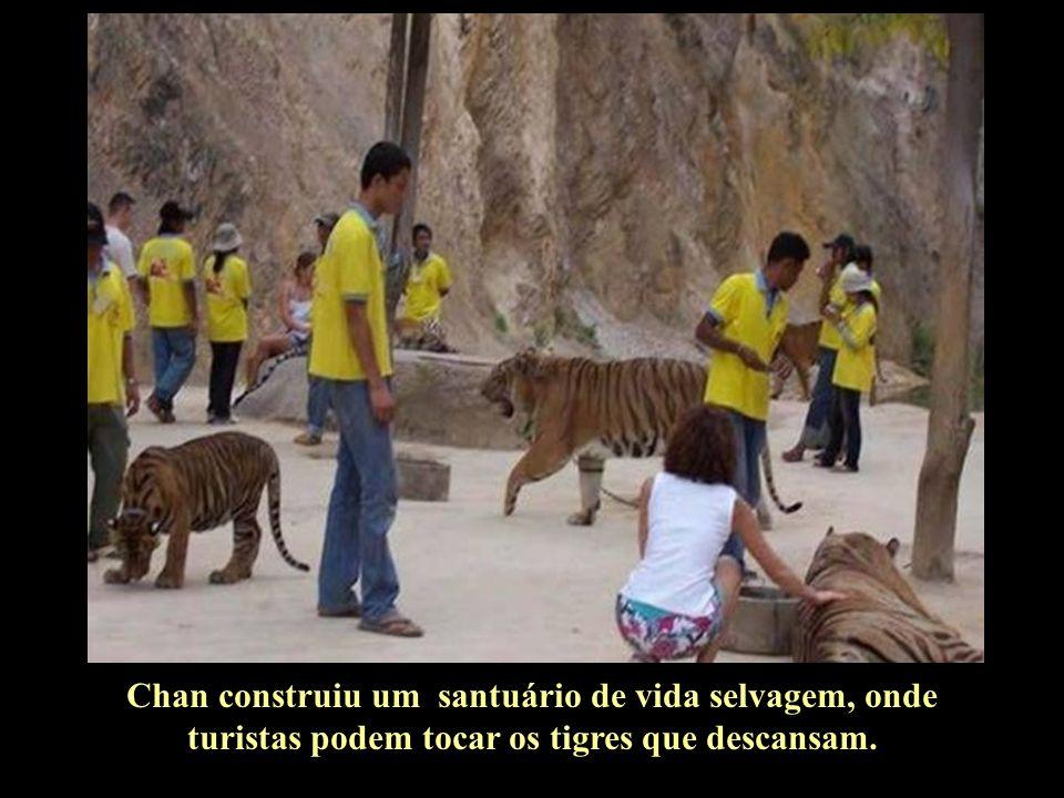 Abott Chan, o monge que criou o primeiro tigre, diz que não há segredos em relação à atitude amigável dos tigres com os humanos...