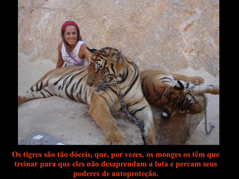 Os turistas podem participar, a curta distância, do programa matinal dos tigres, que inclui exercitar suas técnicas de caça na piscina.