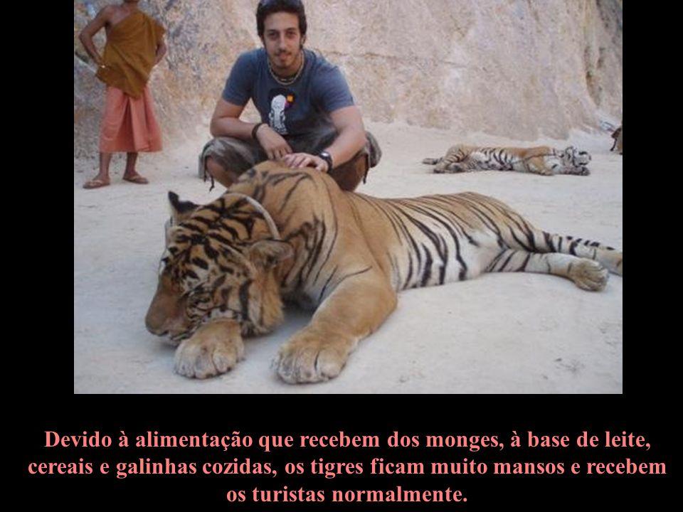 Os tigres são tão dóceis, que, por vezes, os monges os têm que treinar para que eles não desaprendam a luta e percam seus poderes de autoproteção.