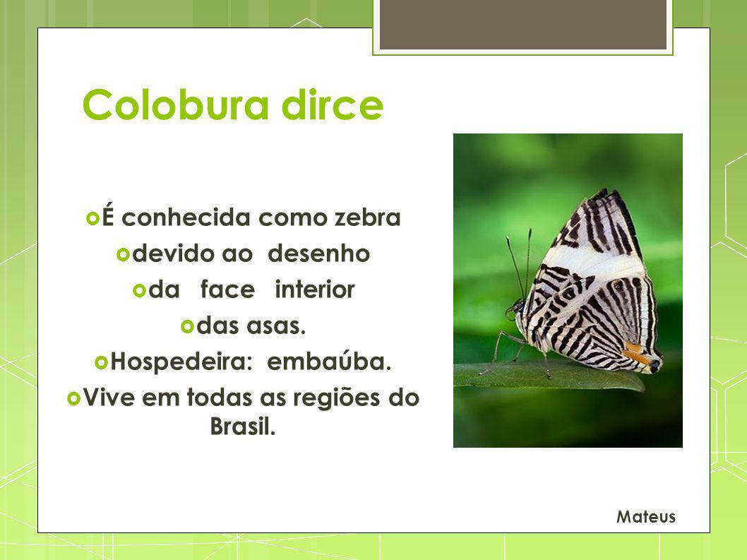 Colobura dirce É conhecida como zebra devido ao desenho da face interior das asas. Hospedeira: embaúba. Vive em todas as regiões do Brasil. Mateus