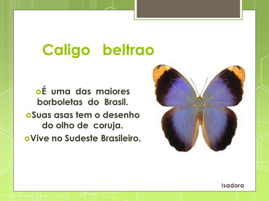 Caligo beltrao É uma das maiores borboletas do Brasil. Suas asas tem o desenho do olho de coruja. Vive no Sudeste Brasileiro. Isadora