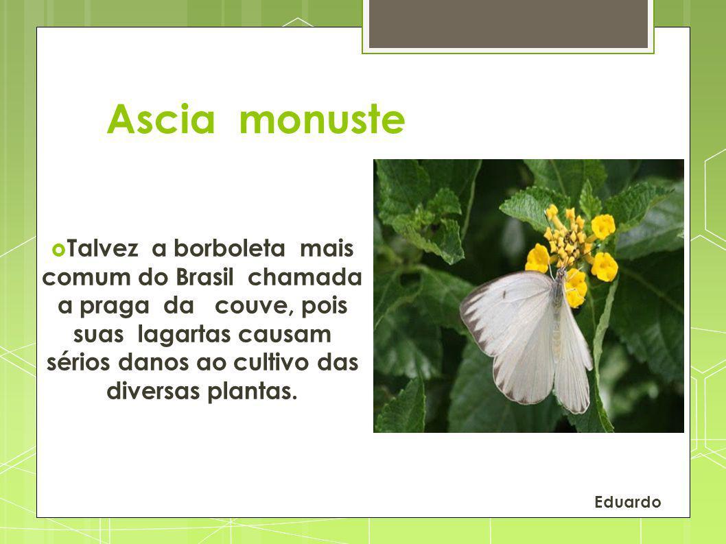 Ascia monuste Talvez a borboleta mais comum do Brasil chamada a praga da couve, pois suas lagartas causam sérios danos ao cultivo das diversas plantas.