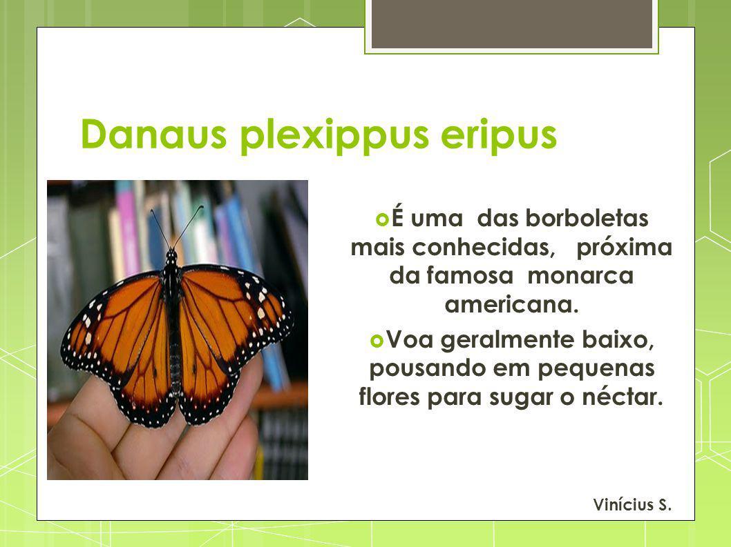 Danaus plexippus eripus É uma das borboletas mais conhecidas, próxima da famosa monarca americana. Voa geralmente baixo, pousando em pequenas flores p