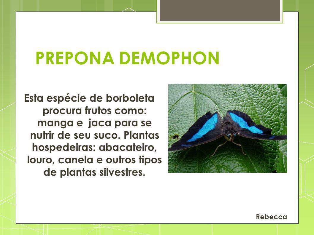 PREPONA DEMOPHON Esta espécie de borboleta procura frutos como: manga e jaca para se nutrir de seu suco. Plantas hospedeiras: abacateiro, louro, canel