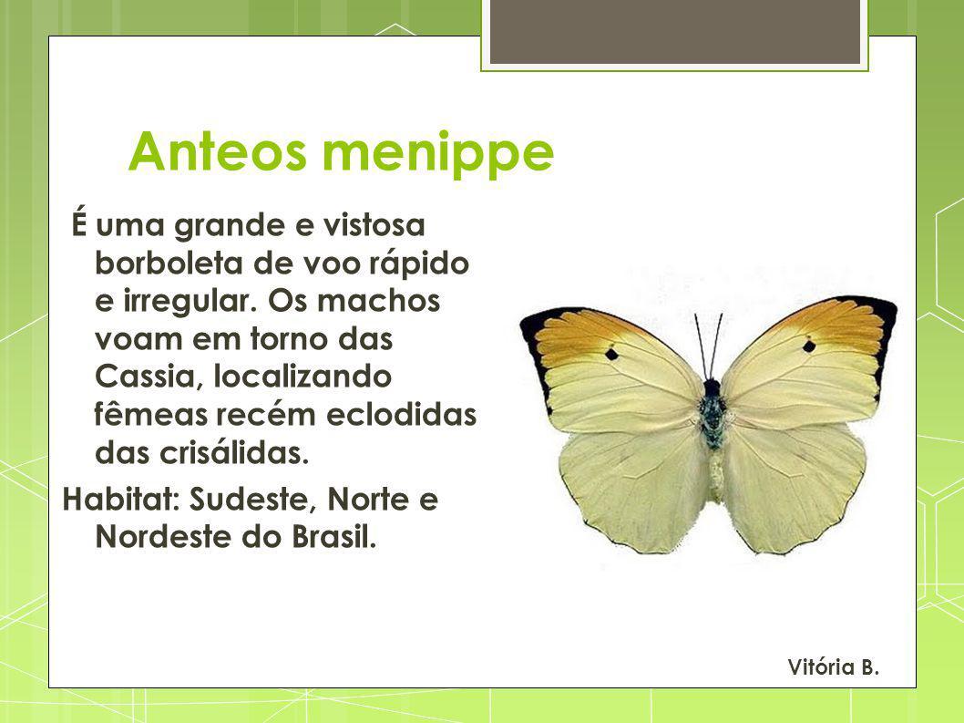 Anteos menippe É uma grande e vistosa borboleta de voo rápido e irregular. Os machos voam em torno das Cassia, localizando fêmeas recém eclodidas das