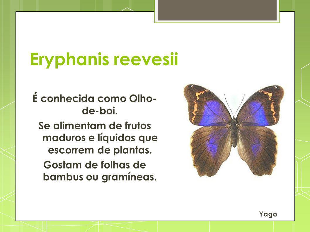 Eryphanis reevesii É conhecida como Olho- de-boi. Se alimentam de frutos maduros e líquidos que escorrem de plantas. Gostam de folhas de bambus ou gra