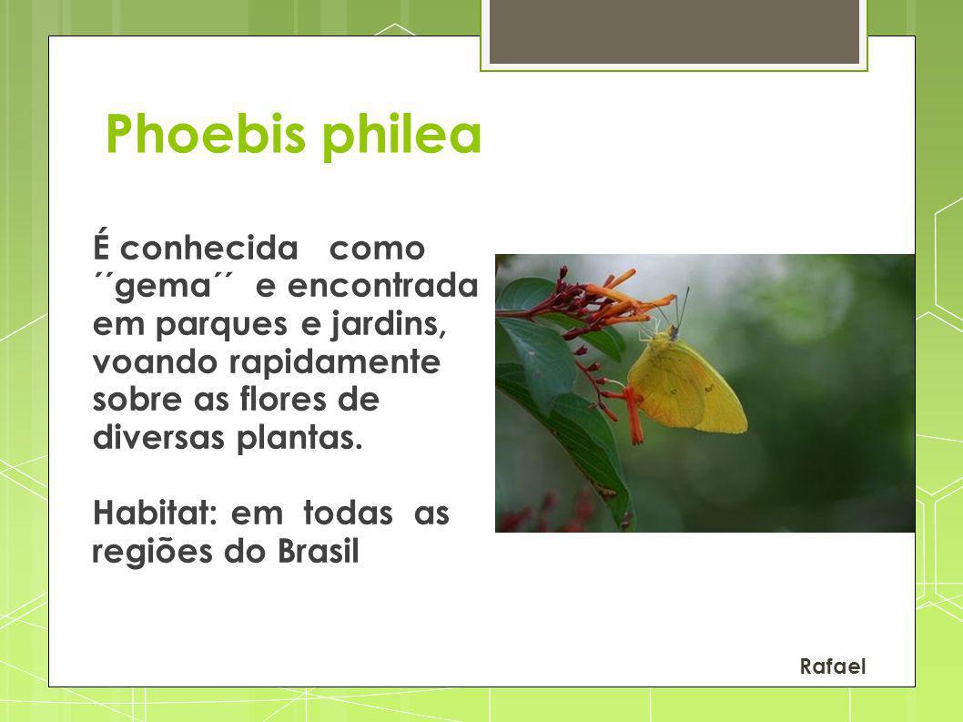 Phoebis philea É conhecida como ´´gema´´ e encontrada em parques e jardins, voando rapidamente sobre as flores de diversas plantas. Habitat: em todas