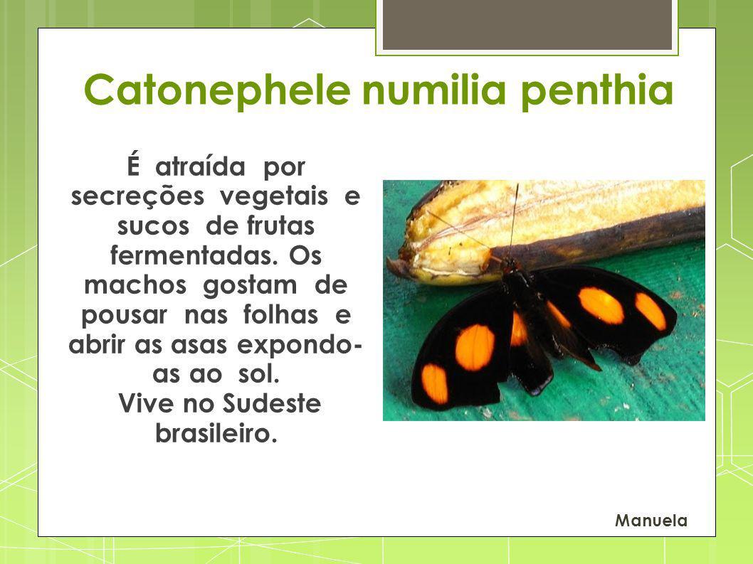Catonephele numilia penthia É atraída por secreções vegetais e sucos de frutas fermentadas. Os machos gostam de pousar nas folhas e abrir as asas expo