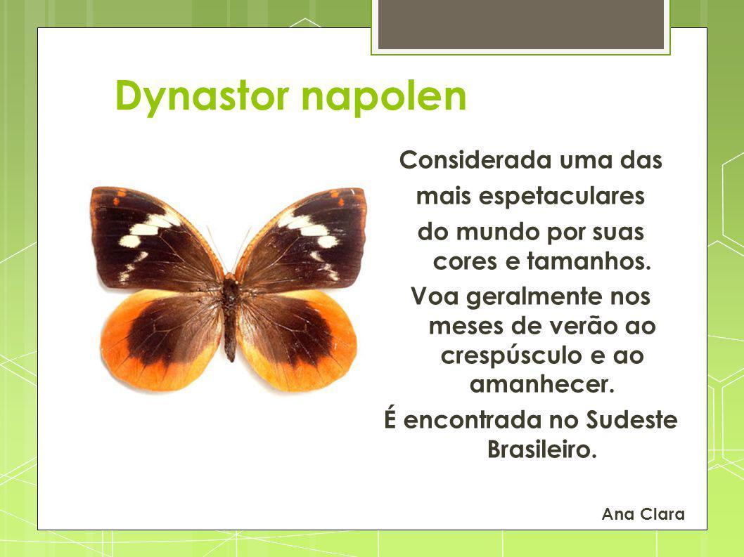 Dynastor napolen Considerada uma das mais espetaculares do mundo por suas cores e tamanhos. Voa geralmente nos meses de verão ao crespúsculo e ao aman