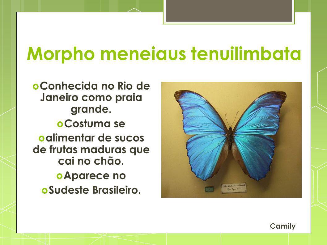 Morpho meneiaus tenuilimbata Conhecida no Rio de Janeiro como praia grande. Costuma se alimentar de sucos de frutas maduras que cai no chão. Aparece n