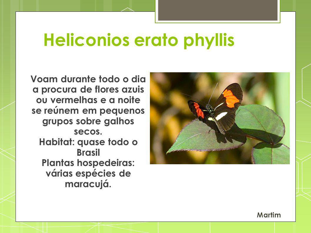 Heliconios erato phyllis Voam durante todo o dia a procura de flores azuis ou vermelhas e a noite se reúnem em pequenos grupos sobre galhos secos. Hab