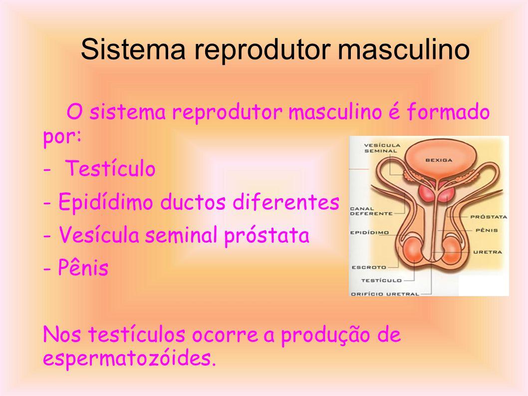 Sistema reprodutor masculino O sistema reprodutor masculino é formado por: - Testículo - Epidídimo ductos diferentes - Vesícula seminal próstata - Pênis Nos testículos ocorre a produção de espermatozóides.