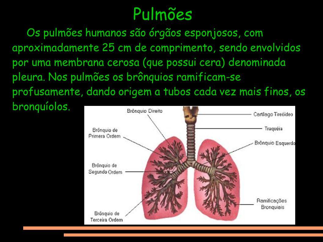Pulmões Os pulmões humanos são órgãos esponjosos, com aproximadamente 25 cm de comprimento, sendo envolvidos por uma membrana cerosa (que possui cera)
