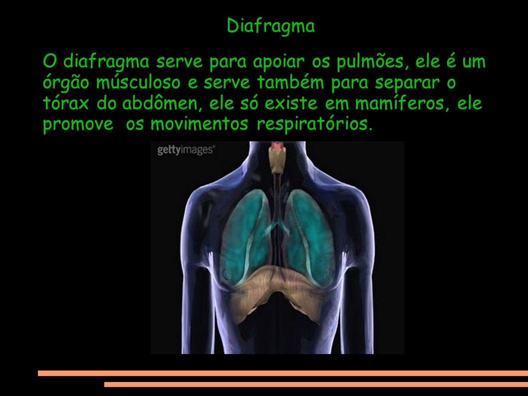 Diafragma O diafragma serve para apoiar os pulmões, ele é um órgão músculoso e serve também para separar o tórax do abdômen, ele só existe em mamífero