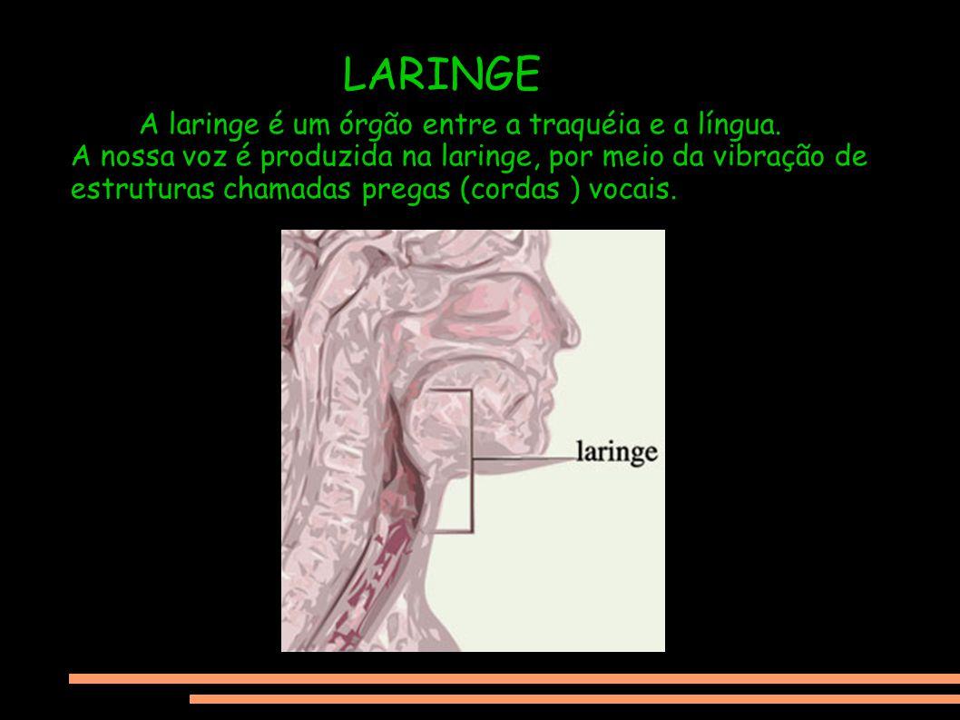 LARINGE A laringe é um órgão entre a traquéia e a língua. A nossa voz é produzida na laringe, por meio da vibração de estruturas chamadas pregas (cord