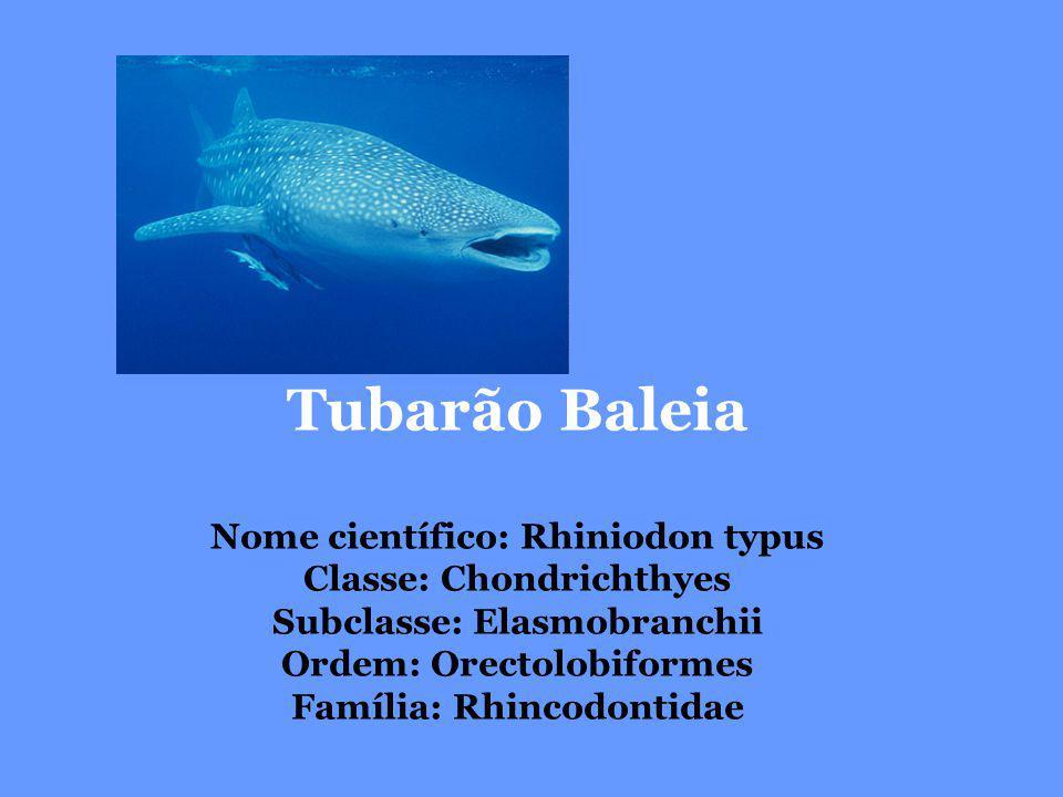 Tubarão Baleia Nome científico: Rhiniodon typus Classe: Chondrichthyes Subclasse: Elasmobranchii Ordem: Orectolobiformes Família: Rhincodontidae