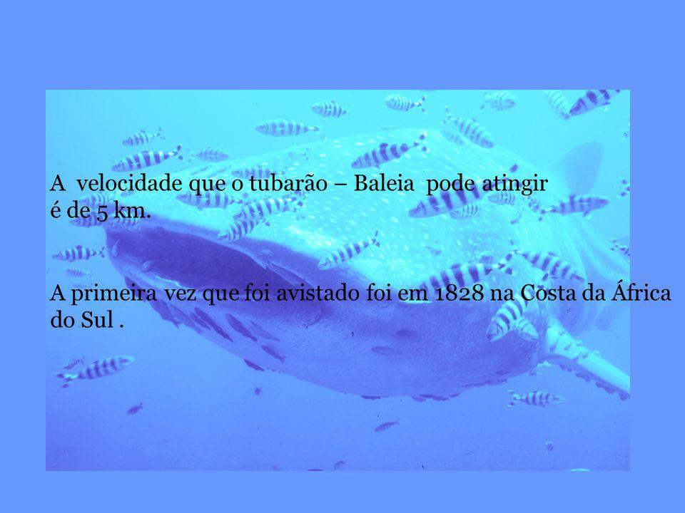 A velocidade que o tubarão – Baleia pode atingir é de 5 km. A primeira vez que foi avistado foi em 1828 na Costa da África do Sul.