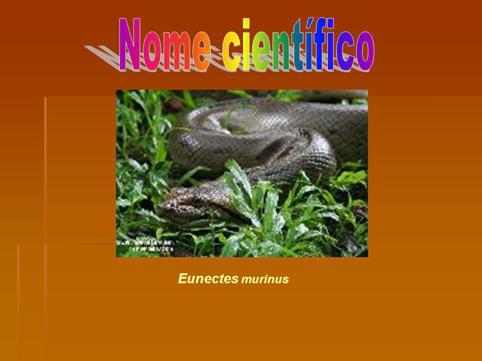 Eunectes murinus