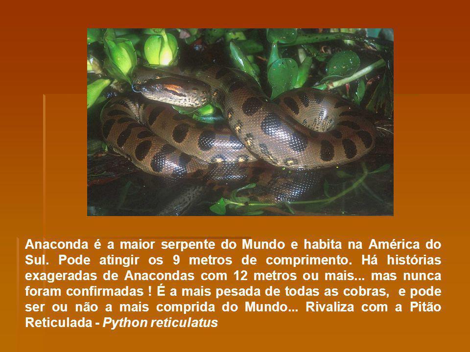 Anaconda é a maior serpente do Mundo e habita na América do Sul. Pode atingir os 9 metros de comprimento. Há histórias exageradas de Anacondas com 12